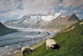 sheep above Aletsch Gletscher